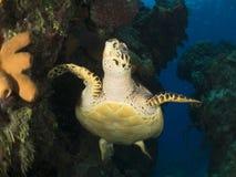 La tortuga Imágenes de archivo libres de regalías