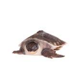 La tortuga cerdo-sospechada en blanco imágenes de archivo libres de regalías