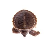 La tortuga cerdo-sospechada en blanco imagen de archivo