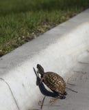 La tortuga cruza el camino Foto de archivo libre de regalías