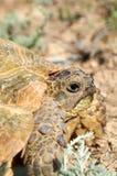 La tortuga de desierto fotos de archivo