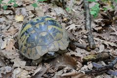 La tortuga de Hermann o hermanni del Testudo en bosque del roble fotografía de archivo