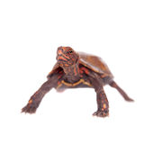 La tortuga de la hoja de Ryukyu en blanco Imagen de archivo