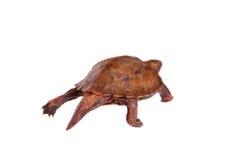 La tortuga de la hoja de Ryukyu en blanco Fotos de archivo libres de regalías