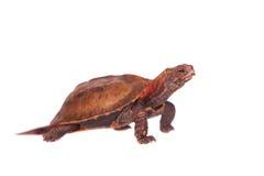 La tortuga de la hoja de Ryukyu en blanco Imagen de archivo libre de regalías