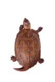 La tortuga de la hoja de Ryukyu en blanco Foto de archivo libre de regalías