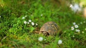 La tortuga de la tierra en la hierba En el parque de Milocer, cerca de la isla o metrajes