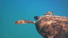 La tortuga de mar nada en el vídeo subacuático azul 4K del animal acuático de la agua de mar