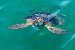 La tortuga de mar resalta su cabeza del agua foto de archivo libre de regalías