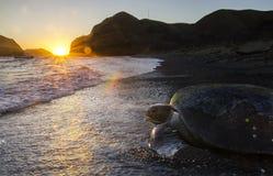La tortuga de mar verde pacífica vuelve al mar en el amanecer Foto de archivo