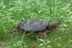 La tortuga de rotura se arrastra a través del pantano imágenes de archivo libres de regalías