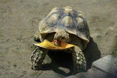 La tortuga de Sulcata come las hojas secadas Foto de archivo