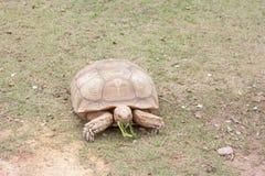 La tortuga de Sulcata está comiendo correhuela foto de archivo libre de regalías