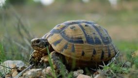 La tortuga de la tierra en la hierba de la primavera que mira la cámara almacen de metraje de vídeo
