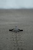 La tortuga del bebé que lleva las primeras medidas las aguas afila Fotos de archivo