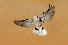 La tortuga del cabo se zambulló en vuelo Imagen de archivo libre de regalías