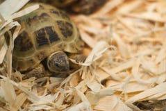 La tortuga en el serrín Foto de archivo libre de regalías