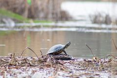 La tortuga es heated en un registro Imágenes de archivo libres de regalías