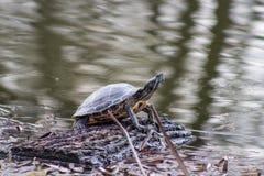 La tortuga es heated en un registro Fotos de archivo libres de regalías