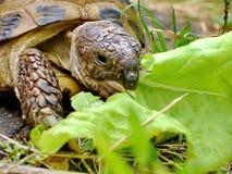 La tortuga est? comiendo una hoja de la ensalada lat del Tortuga-Gopher Polyphemus del Gopherus - una clase de tortugas de la tie imágenes de archivo libres de regalías