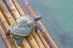 La tortuga está flotando en los flotadores Fotografía de archivo libre de regalías