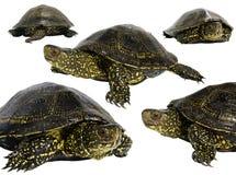 La tortuga europea de la charca (orbicularis de Emys) Imagen de archivo