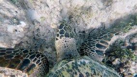 La tortuga exótica muy hermosa flota en el suelo marino y come algas Vista superior de la fauna marina El zambullirse cerca de metrajes