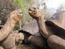 La tortuga gigante Ecuador hace frente apagado en el tiempo de la comida imagenes de archivo