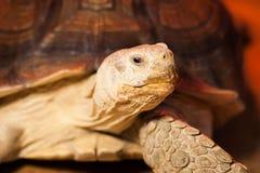 La tortuga grande miente detrás del vidrio Fotos de archivo