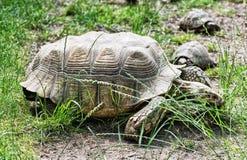 La tortuga grande y las pequeñas tortugas están alimentando en la hierba verde, Imágenes de archivo libres de regalías