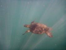 La tortuga hawaiana nada mientras que los rayos de la luz la rodean fotos de archivo libres de regalías