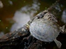 La tortuga joven en la madera vieja en la charca imagen de archivo libre de regalías