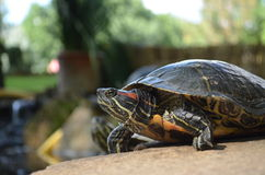 La tortuga más hermosa Imágenes de archivo libres de regalías