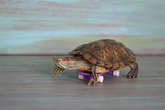 La tortuga manual está montando un monopatín Imagen de archivo