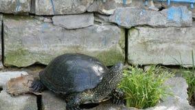 La tortuga negra grande se sienta en un parque almacen de video