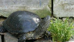 La tortuga negra grande se sienta en un parque almacen de metraje de vídeo