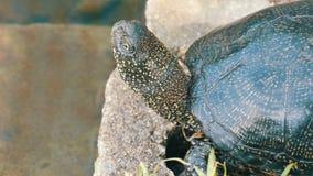 La tortuga negra grande se sienta en un parque cerca de una charca artificial almacen de metraje de vídeo