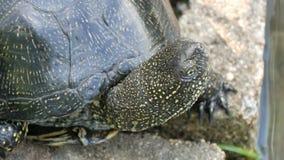 La tortuga negra grande se sienta en un parque cerca de una charca artificial almacen de video