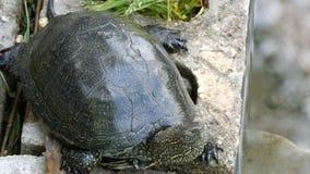 La tortuga negra grande se sienta en un parque cerca de una charca artificial metrajes