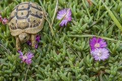 La tortuga oculta en la hierba entre las flores en primavera en Israel Fotos de archivo