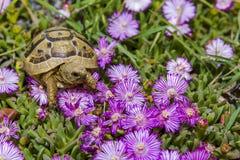 La tortuga oculta en la hierba entre las flores en primavera en Israel Imagen de archivo libre de regalías
