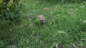 La tortuga se está moviendo a lo largo de la hierba verde almacen de metraje de vídeo