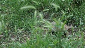La tortuga se está moviendo a lo largo de la hierba verde almacen de video
