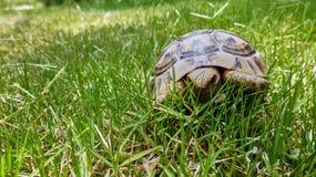 La tortuga se sienta en hierba Foto de archivo