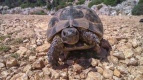 La tortuga vieja grande cruza el camino de piedra en pavo imagenes de archivo