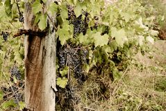 La Toscana - Hillside Vinyard che domina la città di Asciano fotografia stock