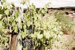 La Toscana - Hillside Vinyard che domina la città di Asciano fotografie stock libere da diritti