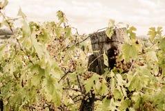 La Toscana - una vigna di Hillside che domina la città di Asciano immagine stock libera da diritti