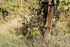 La Toscane - Hillside Vinyard donnant sur la ville d'Asciano image stock