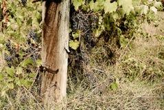 La Toscane - un vignoble de Hillside donnant sur la ville d'Asciano photographie stock